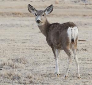 2012-mule-deer-female