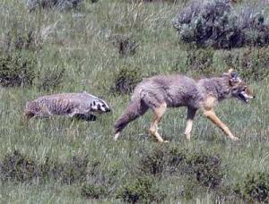 Badger-and-Coyote