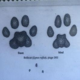 bobcat_tracks