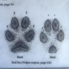 red_fox_tracks