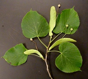 Basswood leaves and flower pods