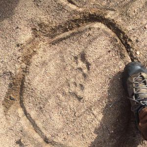 lion_tracks_racconclan