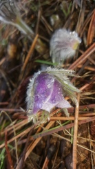 One the first Pasqueflowers of the season bursting out regardless of the snows!